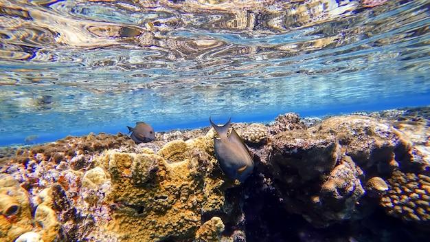 바다 표면의 산호 근처에서 물고기는 먹이를 찾아 헤엄칩니다.