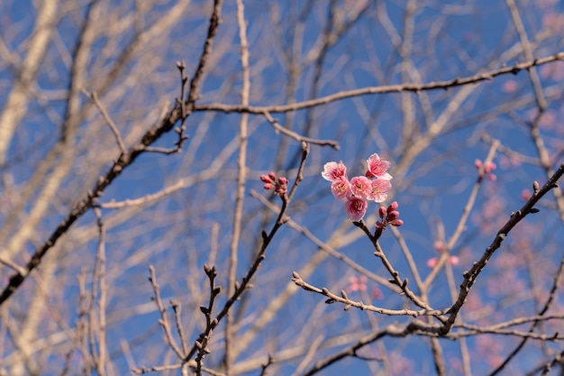 밝고 맑은 푸른 하늘 배경에 나뭇가지에 거의 꽃이 만발한 분홍색 야생 히말라야 체리