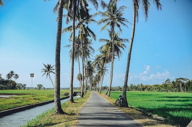 道路脇に生えているココナッツの木が整然と並んでいる