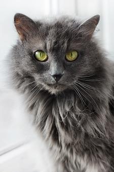 Красивая кошка nebelung сидит у окна