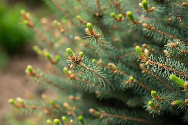 Хвоя дерево цветение весеннее пробуждение зеленый фон пробуждение природы