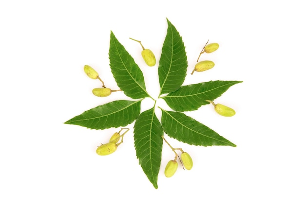 Neem or azadirachta indica green leaves and fruits isolated on white background.