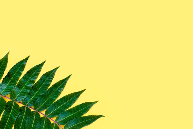 Neem leaf on a yellow background. background for advertising cosmetics and spa.