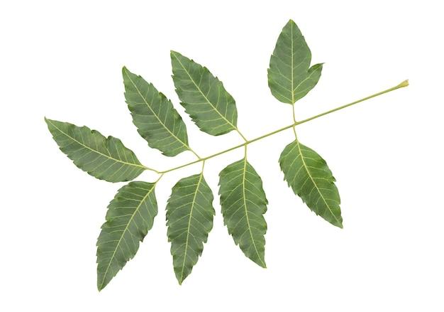 ニームまたはazadirachtaindica、分離された枝の緑の葉。