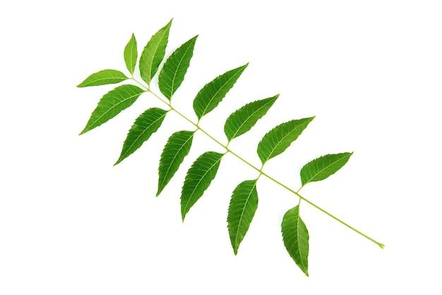 ニームまたはazadirachtaindica、白い背景で隔離の新鮮な緑の葉。