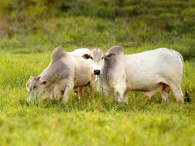 ブラジルで作る牧草地のネロール牛。ブラジル市場での肉生産における主な牛。