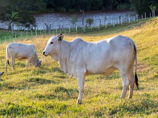 1 日の終わりに放牧されたネロア牛