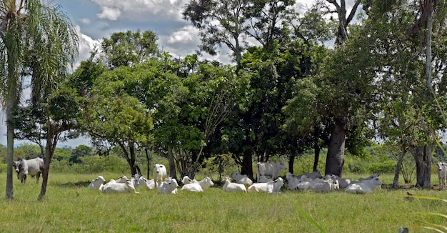 Nellore cattle steers on green pasture