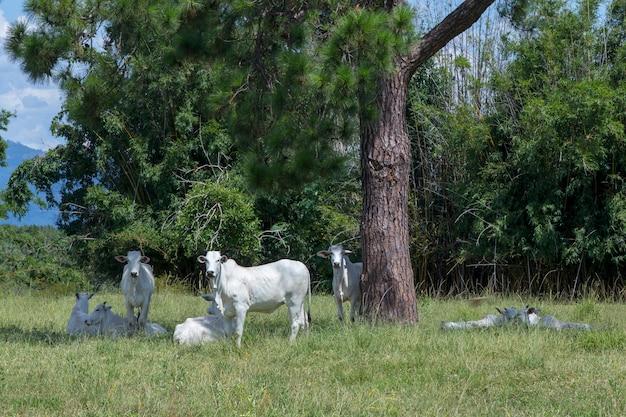 緑の牧草地でネロール牛の雄牛