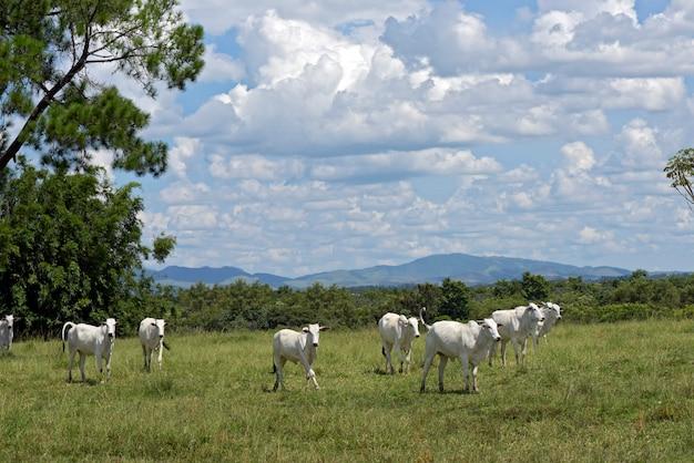 Nellore скот держится на зеленом пастбище