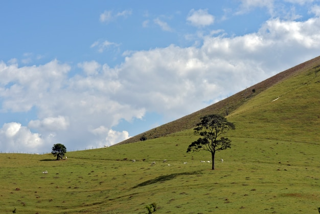 Nelore cattle grazing on top of green hill with blue sky and clouds