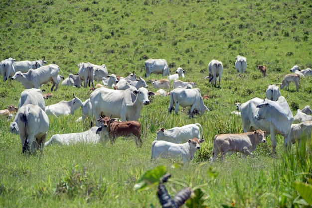 Nelore cattle in green pasture