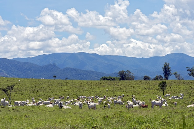 丘のある緑の牧草地でネロール牛