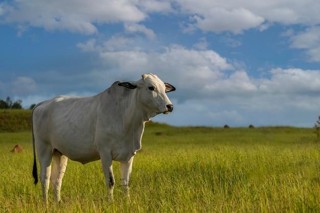 녹색 목초지에서 nelore 소