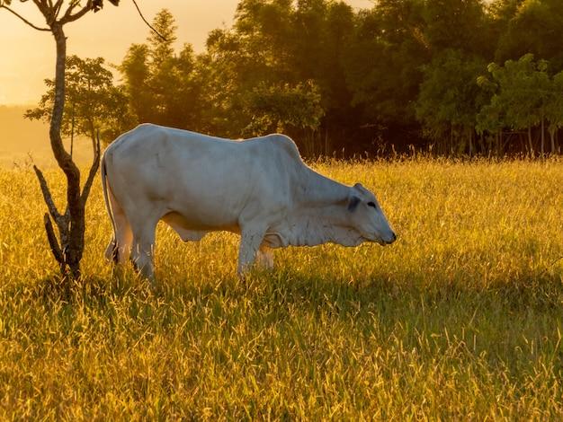 日没で一日の終わりに牧草地でネロール牛