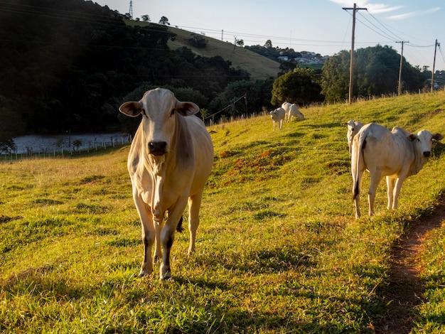 農場の牧草地にいるネロール牛