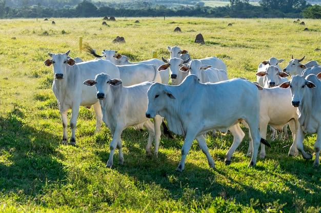 농장 목초지의 nelore 소