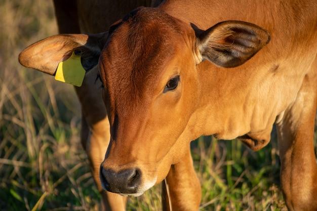 牧草地のネロール牛