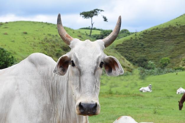 Нелорский скот на пастбище