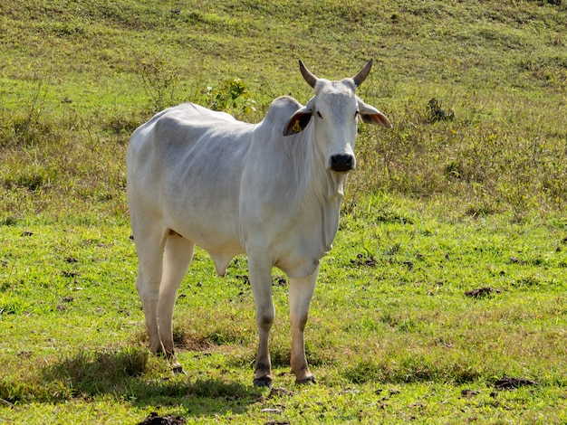 목초지에서 nelore 소