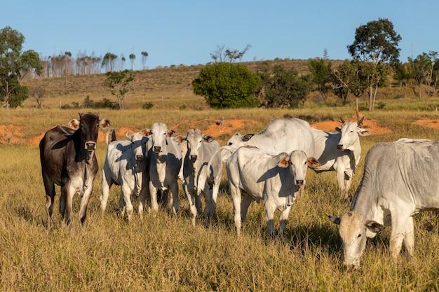 Крупный рогатый скот nelore на пастбище фермы