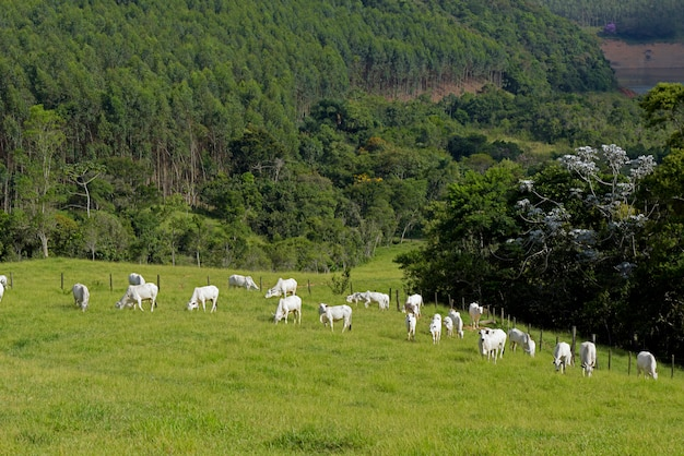 Nelore cattle in pasture in brazill countryside