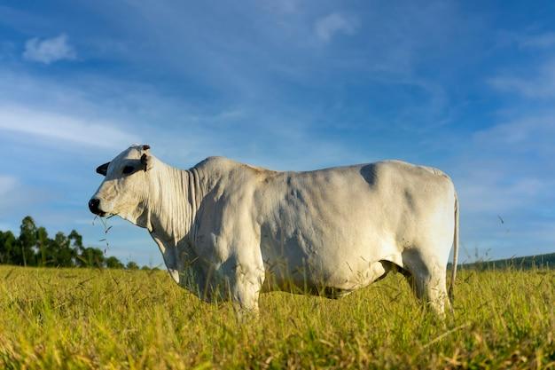 青い空と牧草地のネロール牛
