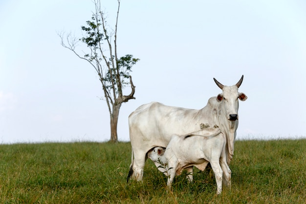 Nelore cow with his calf in the green pasture