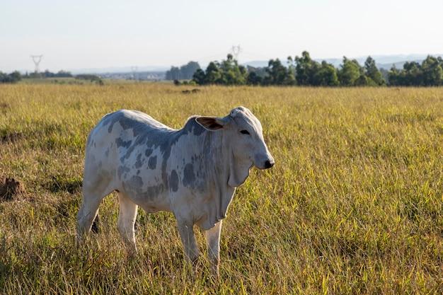 牧草地に斑点のあるネロール牛