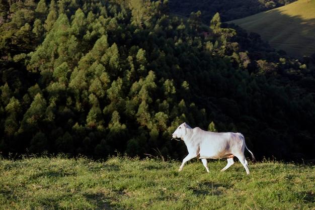 丘の上の緑の牧草地でnelore牛