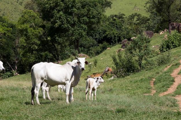 緑の芝生の上のnelore牛のクローズアップ