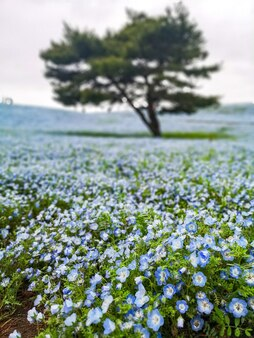 Nemophila, flower field at hitachi seaside park, japan.