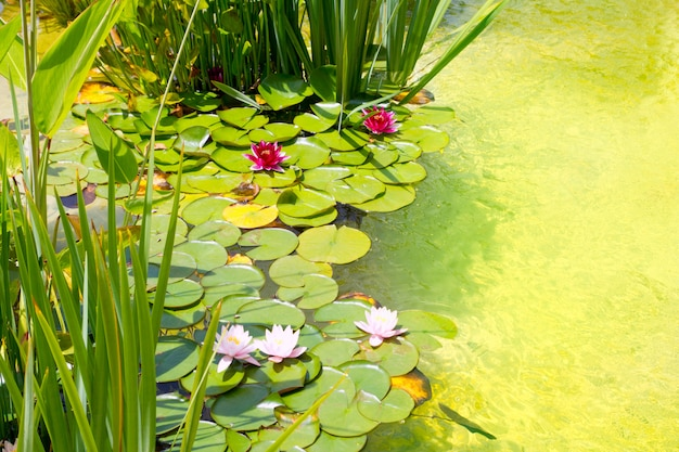 Nenufar water lilies on green water pond