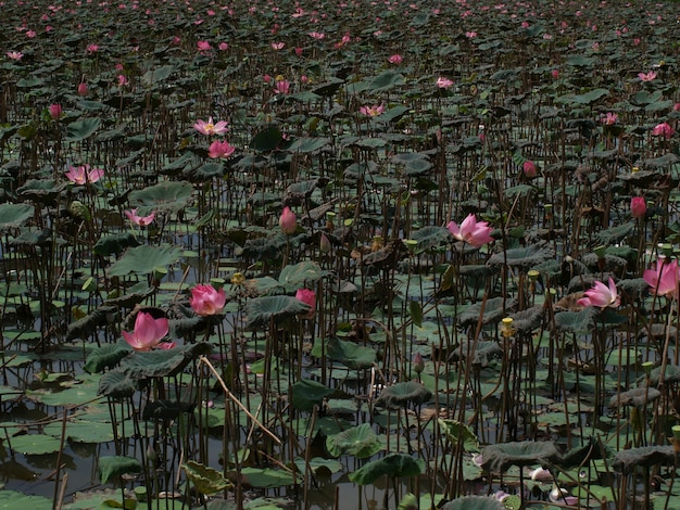 Nenufaresと巣の中のピンクの花