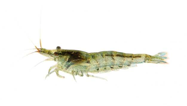 Вишневые креветки - neocaridina heteropoda на белом изолированные