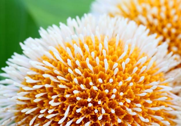 Neolamarckia cadamba или цветок кодома в бангладеш