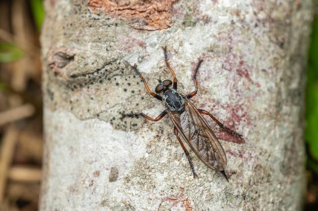 Neomochtherus는 asilidae 가족에 속하는 강도 파리의 속입니다