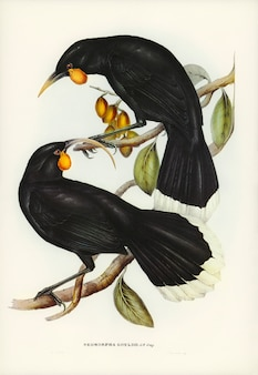 Neomorpha (Neomorpha Gouldii) illustrated by Elizabeth Gould