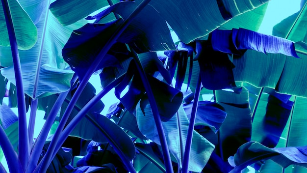 Neon blue banana leaves abstract background