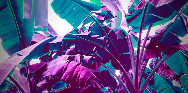 Neon purple banana leaves abstract background
