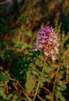 Neotinea tridentata-3本の歯の蘭-南ヨーロッパの蘭-orchideascreziata