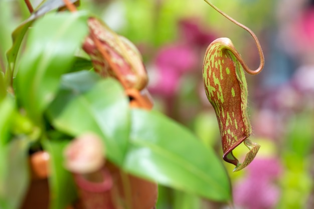 Непентес плотоядное растение в огромном ботаническом саду, концепция природы