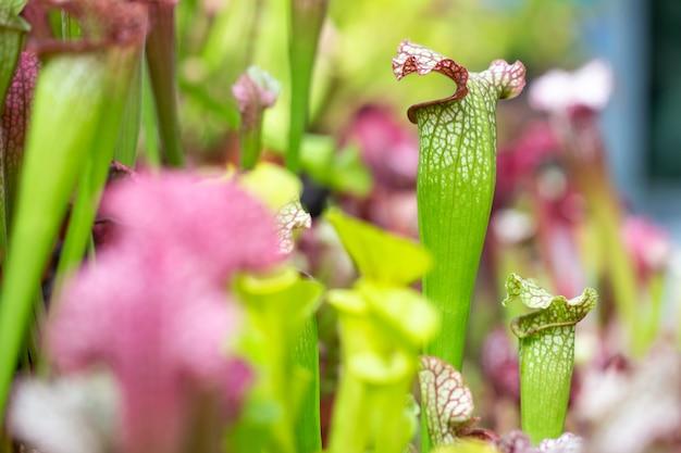 巨大な植物園、自然の概念のネペンテス食虫植物