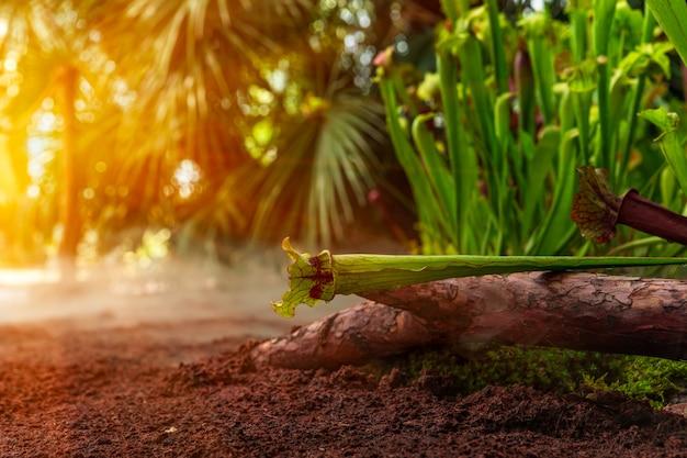 Nepenthes хищных растений в утреннем тумане в тропическом лесу
