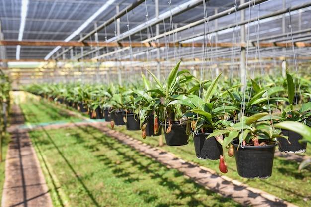 Nepenthes в баке вися на предпосылке зеленого дома. детские питомники, растущие для украшения в саду