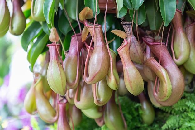 Непентес тропическое растение плотоядное животное в саду