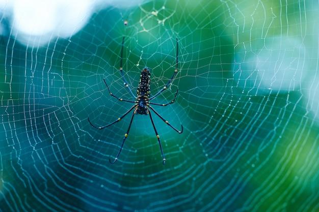 Nephila pilipesはスリランカの危険なクモです