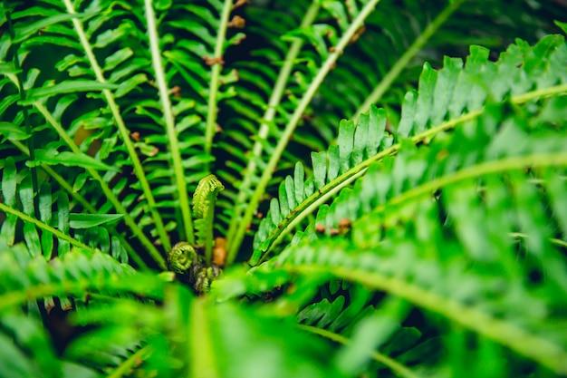 緑のシダ熱帯雨林の背景概念nephrolepis exaltata