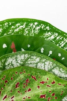 白い背景の上のネフチチス植物の葉