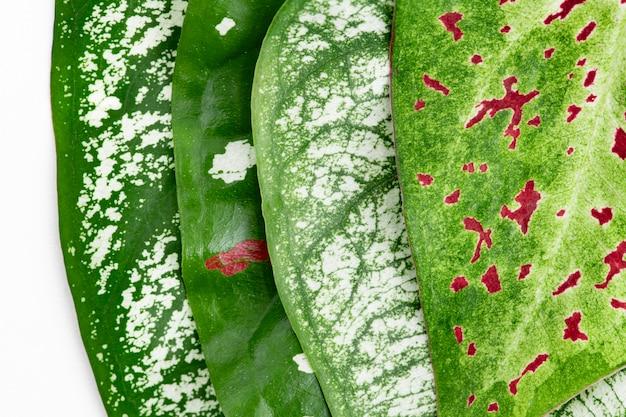 Nephthytis plant leaf on white background